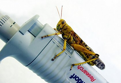 locust on pipette